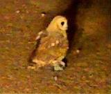 Marsh Owl in Centurion