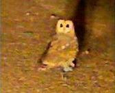 Marsh Owl in Centurion
