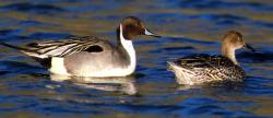 Finding the Nothern Pintail Duck