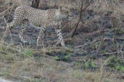 The First Cheetah