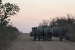 Angry Whit Rhino